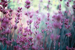 Lavender... a beautiful garden plant & well-rounded, intuitive and resourceful herb.